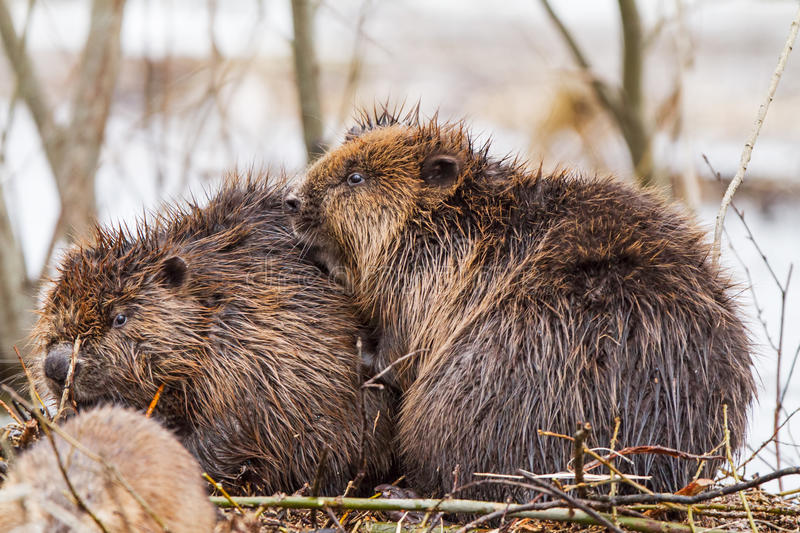 A Beaver family in the flood stock photography