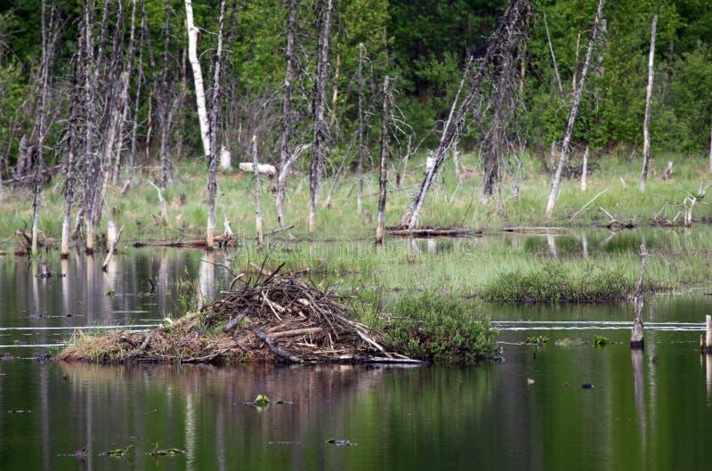 Download Beaver Hut On A Pond In Alaska Stock Image - Image: 12766889