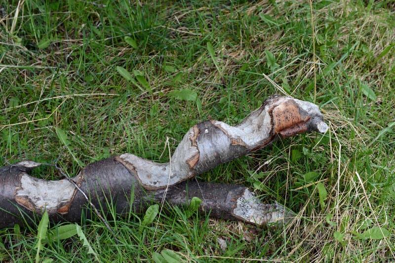 Beaver i tronchi di albero nocivi sull'isola di Navarino immagine stock