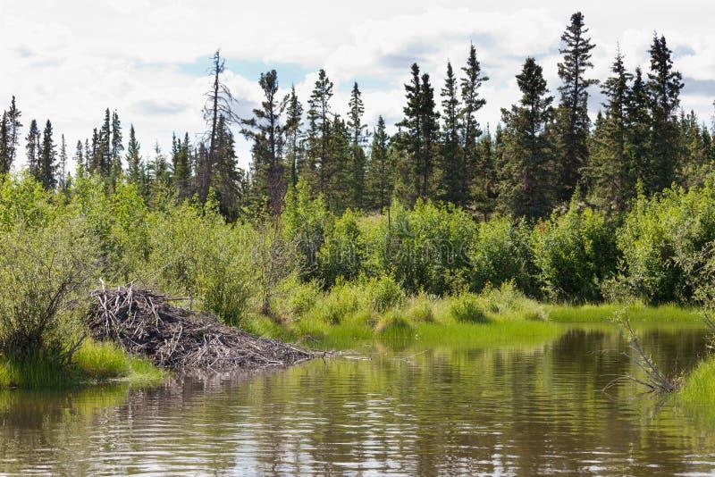 Beaver la loge dans l'habitat ripicole de biome du Yukon T photo libre de droits