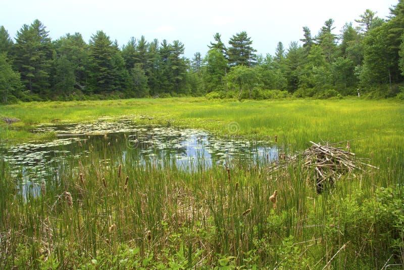 Beaver la loge dans le marais au mémorial blanc, Litchfield, le Connecticut image libre de droits