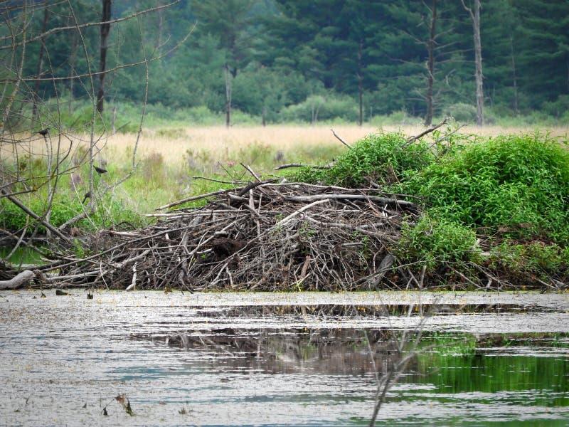 Beaver la loge utilisant la forme conique traditionnelle dans le marais images libres de droits