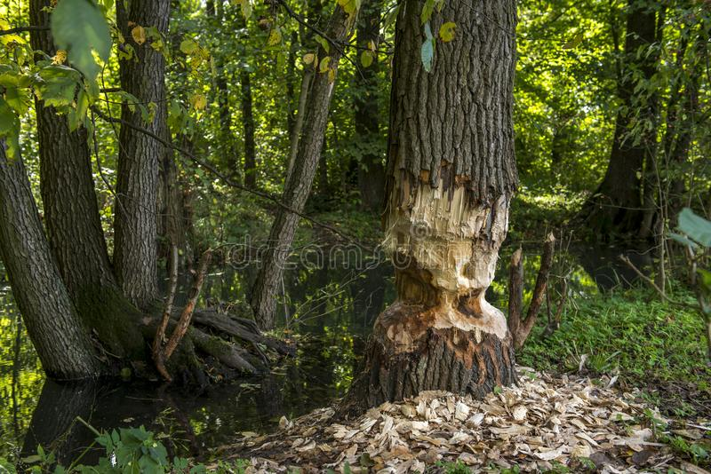 A beaver left the job half done!!! The tree is only half cut around. Beaver tree gnawing damage in forest near the river, summer day, Poland stock image