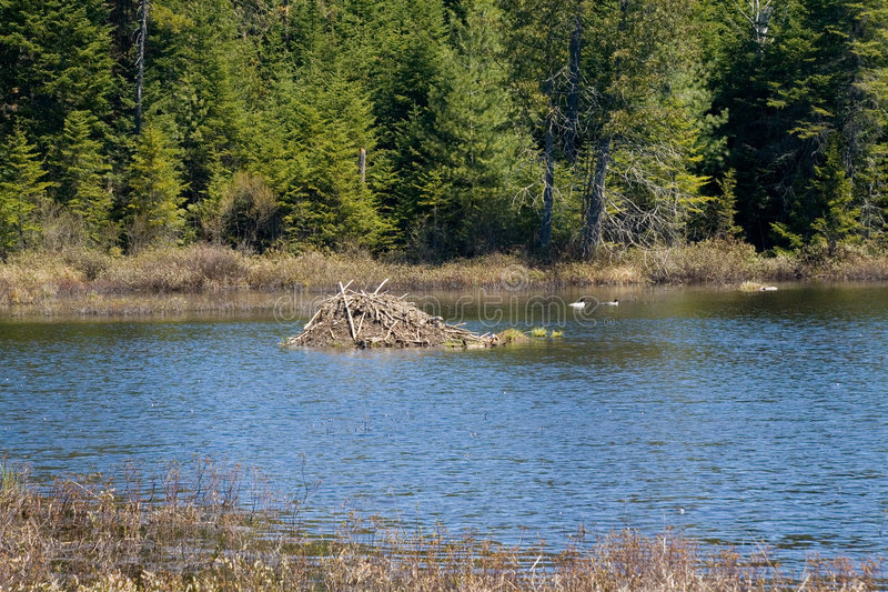 Download Beaver Lodge Stock Photo - Image: 2650160