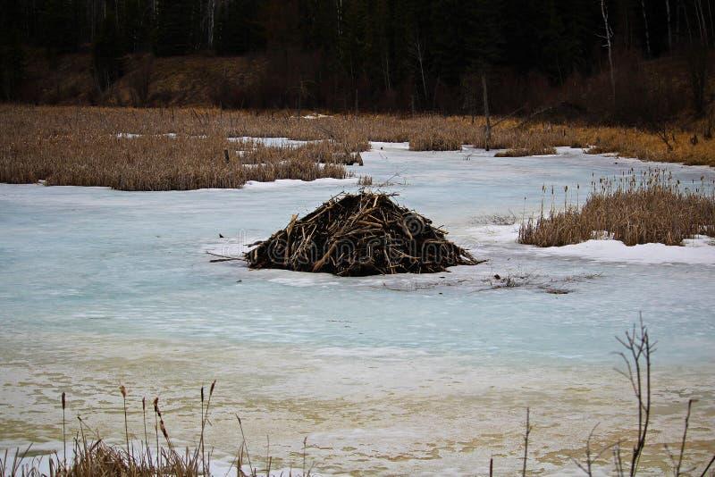 Beaver lodge on a frozen pond stock photo