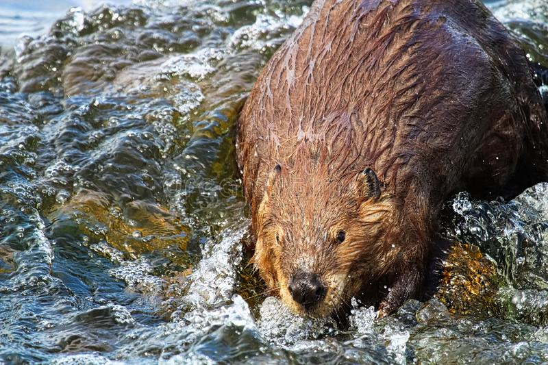 A beaver looking towards the camera in wavy water.  royalty free stock photography