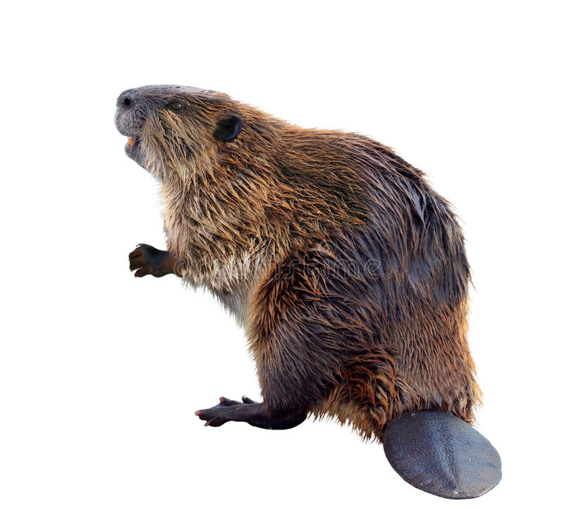 Beaver. North American Beaver Isolated on White
