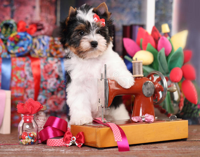 Havanese Heart Images Download 154 Royalty Free Photos