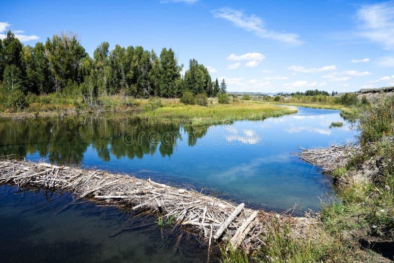 Beaver a represa, parque nacional grande de Teton, Wyoming foto de stock