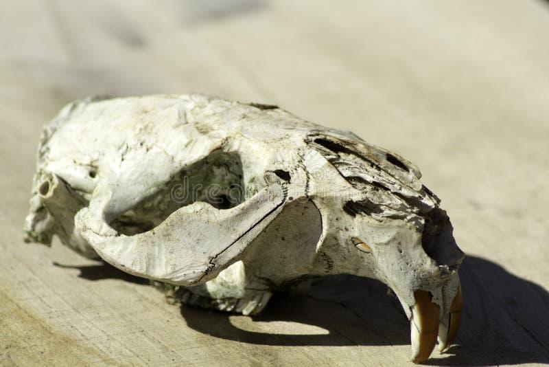 Download Beaver Skull Sideview stock photo. Image of nature, skull - 90906224