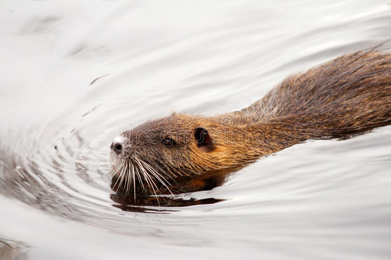 Beaver swimming stock images