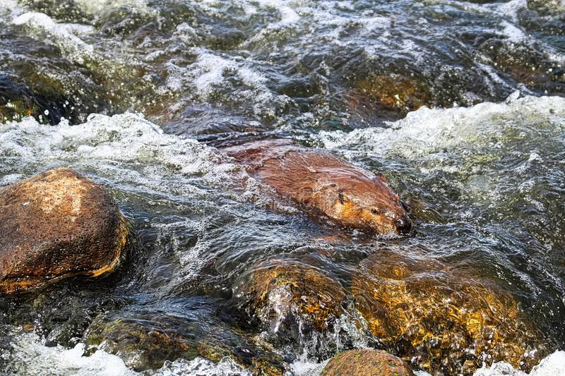 A beaver swimming downstream over rock rapids.  stock photography