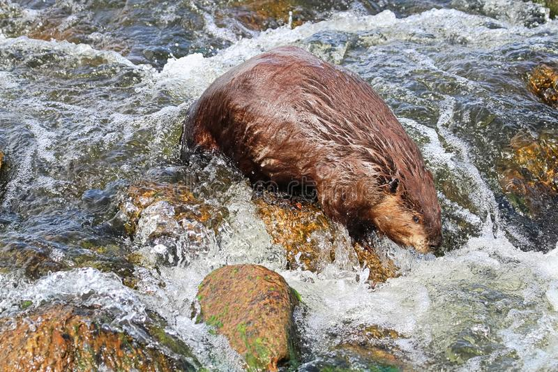A beaver swimming downstream over rock rapids.  stock photo
