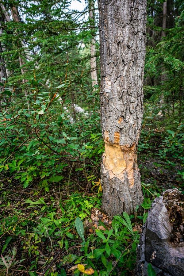 Beaver teeth marks in Pine tree trunk cut in Denali national park. Beaver teeth marks in Pine tree trunk cut in Horseshoe lake in Denali national park, Alaska royalty free stock images