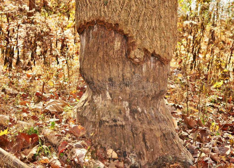 Beaver tooth marks on large tree trunk. An eager beaver Castor canadensis attempted to take down this large tree in a forest in western Pennsylvania royalty free stock image
