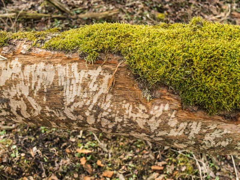 Detail of Beaver Castor fiber Tooth Marks. Beaver tooth marks visible on gnawed tree trunk soft focus background stock images