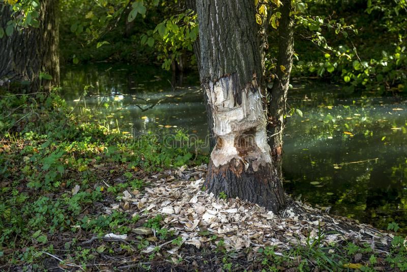 A beaver left the job half done!!! The tree is only half cut around. Beaver tree gnawing damage in forest near the river, summer day, Poland royalty free stock image