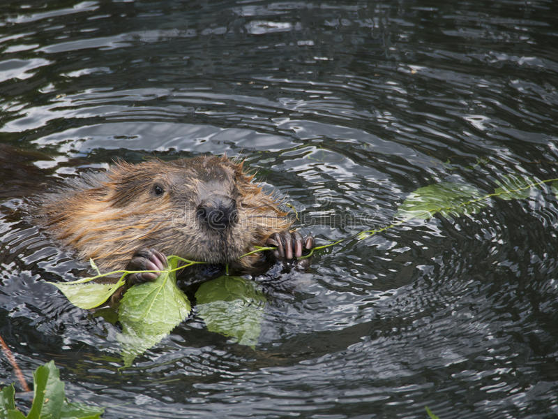 Beaver in the water stock photography