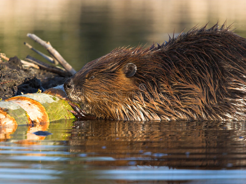 Download Beaver at Work stock image. Image of chew, rodent, wood - 413225