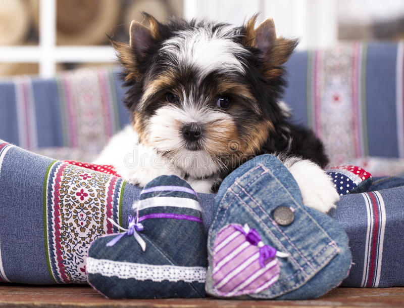 Beaver Yorkshire Terrierin puppy stock photo