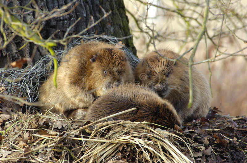 Beavers in nature. Three beavers in free nature sitting close together on a small hill of wood. They save their lifes because of a flood stock photos