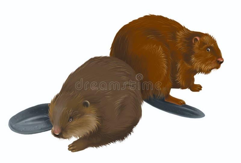 Beavers royalty free illustration