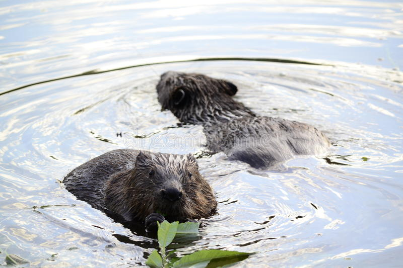 Beavers. Beaver in the water eating branch, green leaves , water wave ,wet beavers , nature , sunny weather royalty free stock images