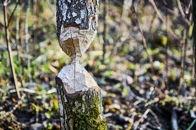 Beavers. Bitten and fallen tree by Beavers in Nature Reserve stock photo