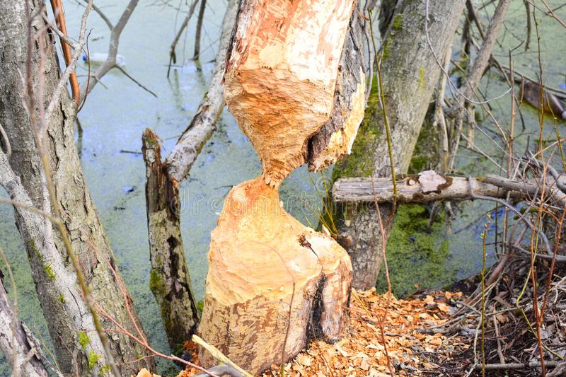 Beavers build a dam material is used the trees on the shore of the lake. Building a dam for these animals is directly related to survival royalty free stock photo