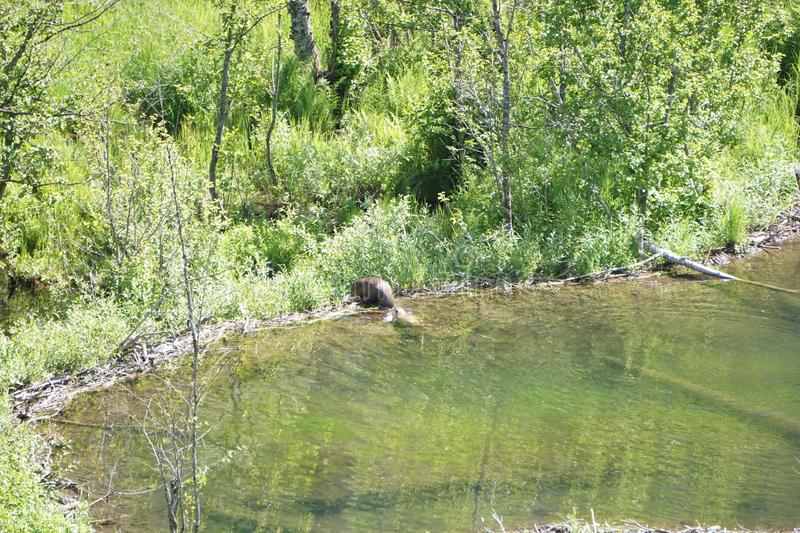 Beavers build a lodge. Two beavers swim in a dammed lake gathering branches and stumps, swimming, amidst the summer greenery stock image