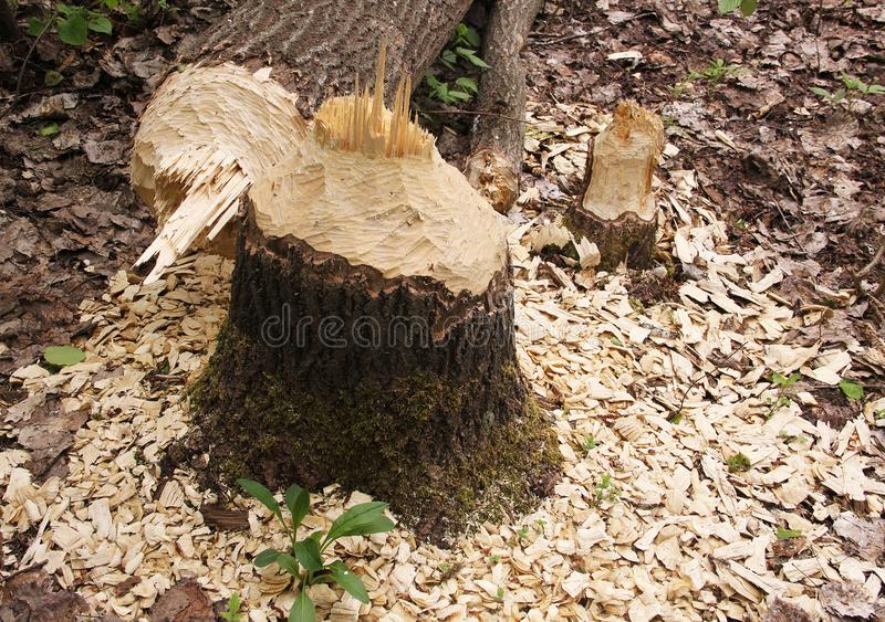 Beavers chewed the trees. Left stumps and sawdust on the shore of the lake stock images
