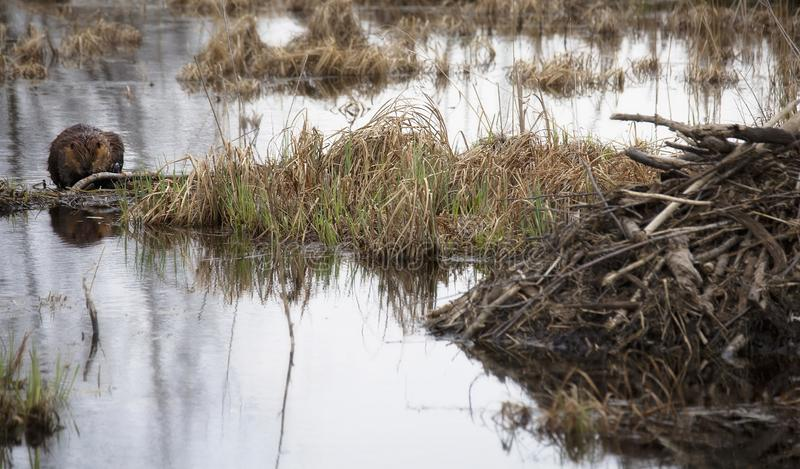 Busy beavers. Beavers chewing on branches in marshy pond, near their lodge.  Wisconsin ecosystem stock image