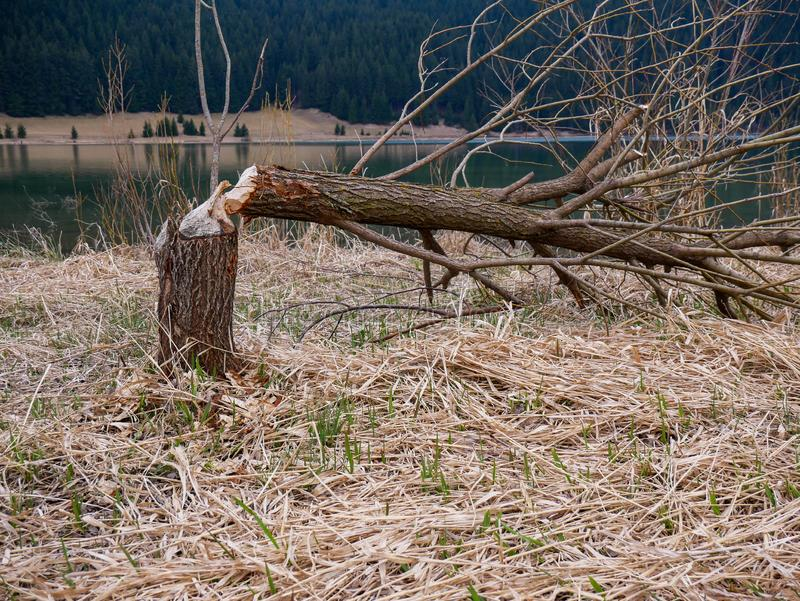 Beavers chopping down trees near a beautiful crystal clean  lake. Surroanded with pine trees royalty free stock images