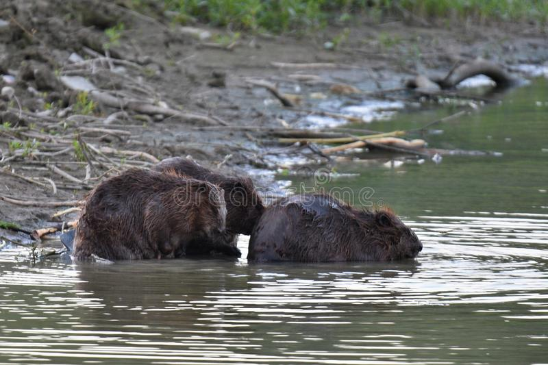 Beavers family. Beavers clean each other`s fur stock images