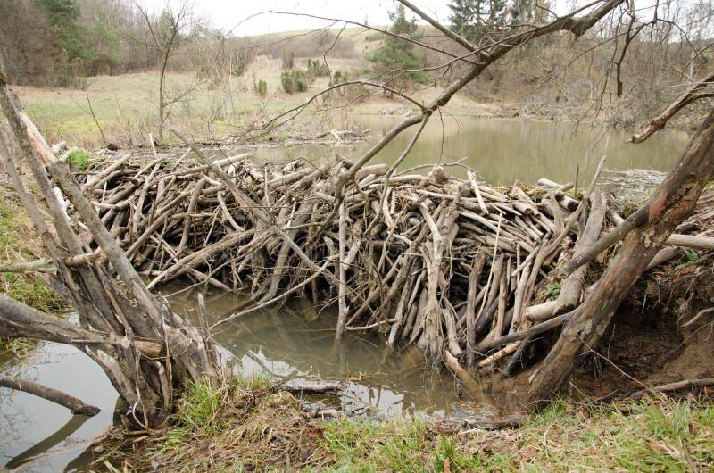 Beavers dam. Near Krempna in the Magurski National Park royalty free stock images
