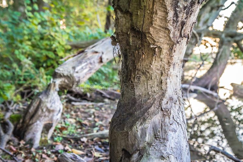 Beavers` damage. Trees damaged by beavers in a forest stock photo