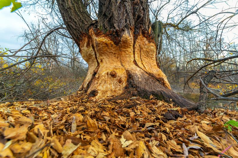 Beavers gnawed at a big tree. A large tree standing on the banks of the river gnawed by beavers stock image