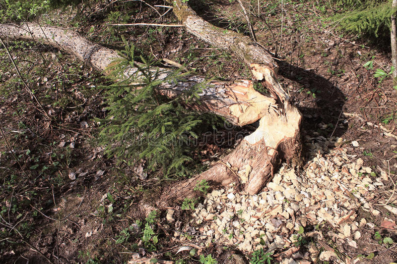 Beavers had gnawed trees. And left sawdust royalty free stock photography