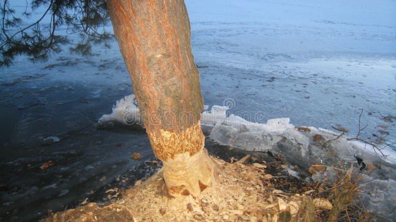 Beavers l'arbre de scarabée image libre de droits
