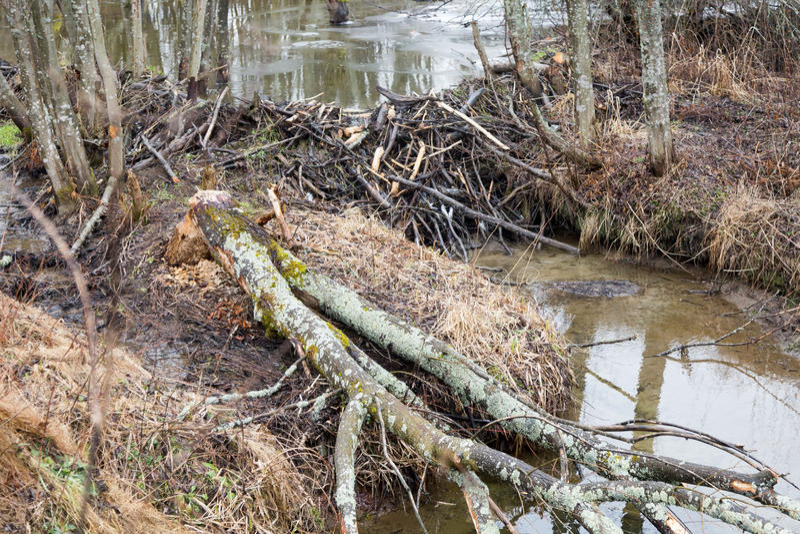 Beavers le lac image stock