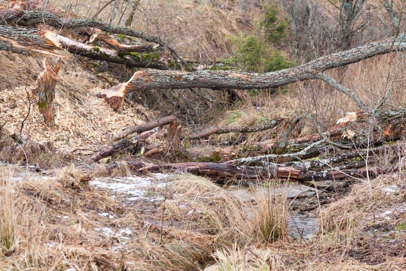 Beavers le lac images stock