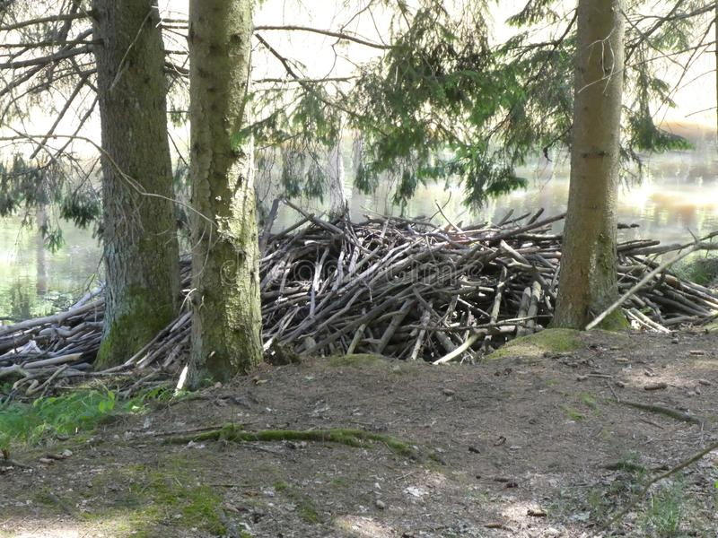 Beavers lodge in the forest. Beavers lodge animal forest branch Wood old tree trunk Pond water stock photo