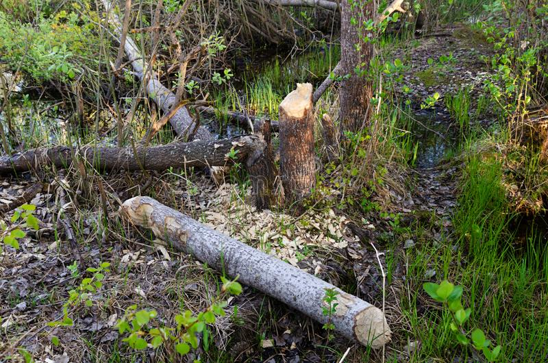 Beavers piled aspen trees. Photo gnawed damaged cut down beavers aspen trees in the swampy area during the day stock photos