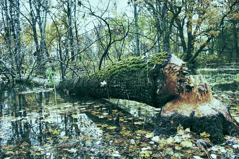 Beavers piled up a huge aspen on the banks stock photography