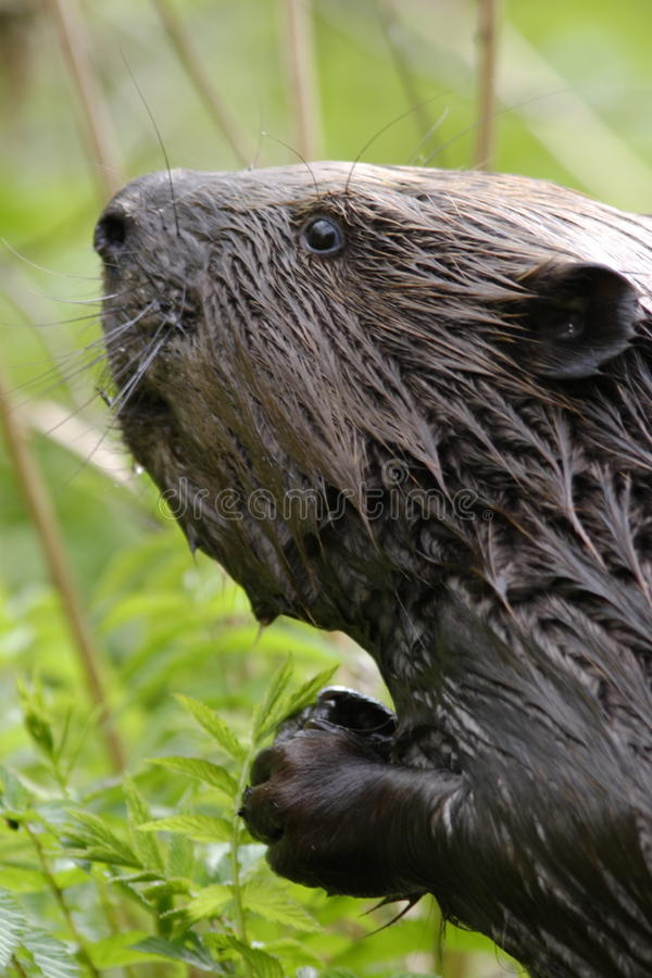 Beavers portrait. In the early morning stock photography