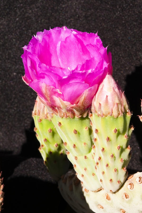 Download Beavertail cactus blossoms stock image. Image of decoration - 14312611