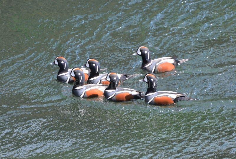 Beavertail dos patos dos arlequins na mola de Jamestown imagem de stock