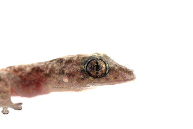 bebé chino del gecko fotos de archivo libres de regalías