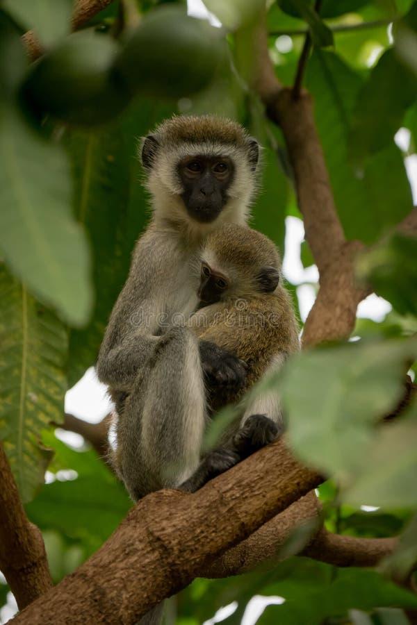 Bebé de abrazo de la madre del mono de Vervet en árbol foto de archivo