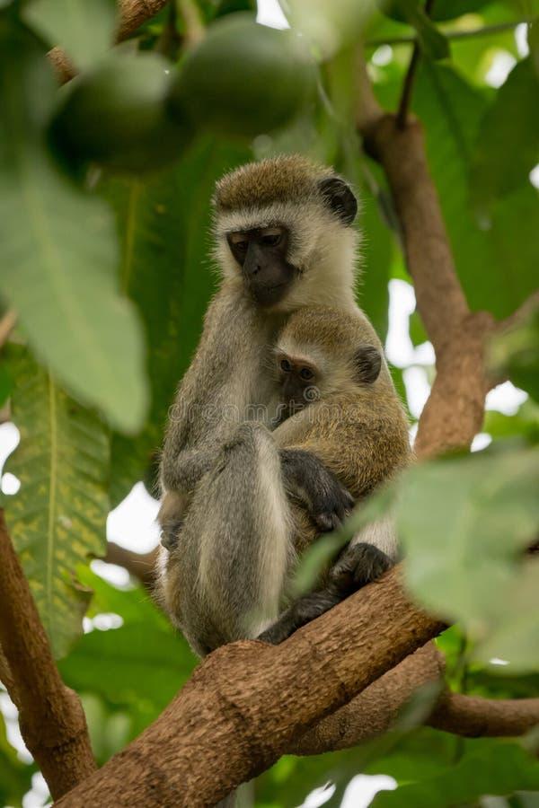 Bebé de abrazo de la madre del mono de Vervet en rama imagen de archivo libre de regalías